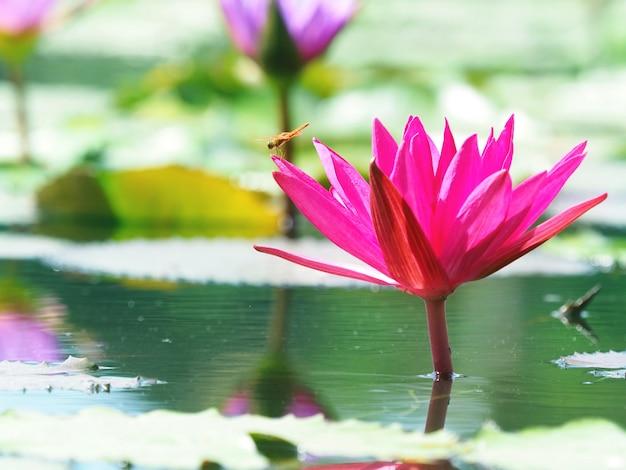 Rosa lotosseerose mit drachenfliege auf der blume mit seerosenblättern
