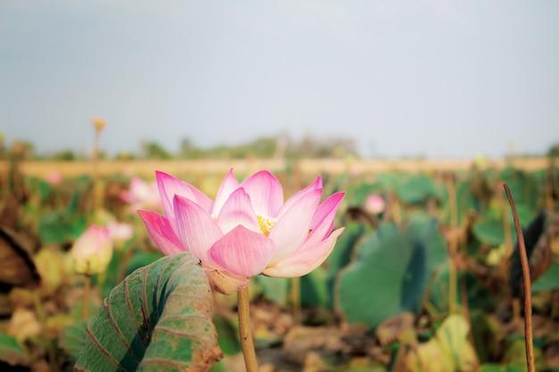 Rosa lotus bei sonnenlicht.