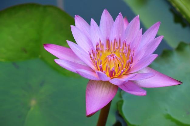 Rosa lotus, der mit grünem blatt und wasser am morgen blüht. naturkonzept.