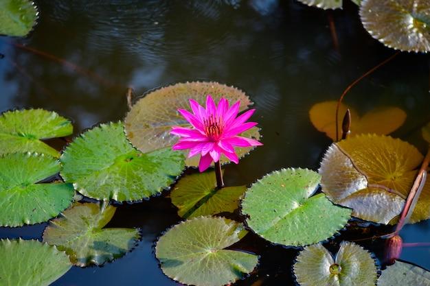Rosa lotus im gartenteich