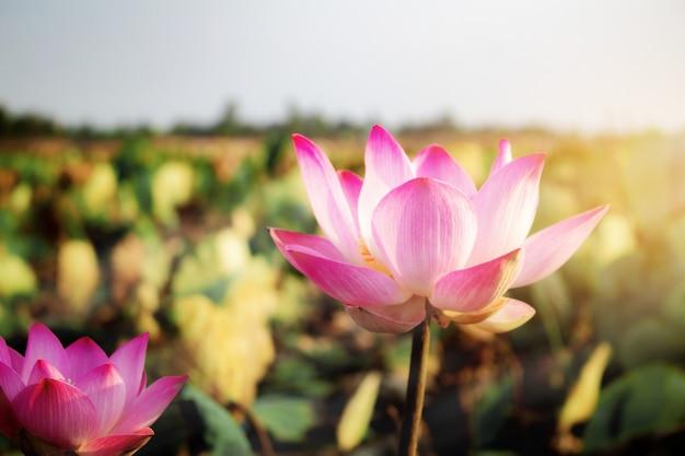 Rosa lotus mit schönen.