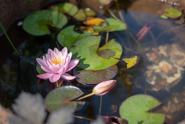 Rosa lotusblume auf dem see