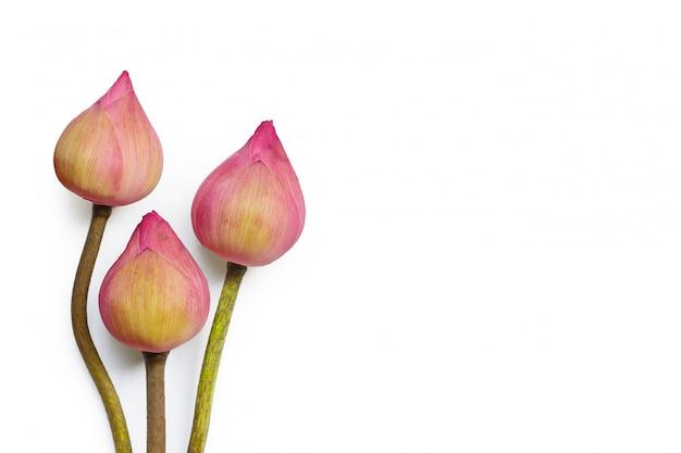 Rosa lotusblume auf weißem hintergrund. draufsicht