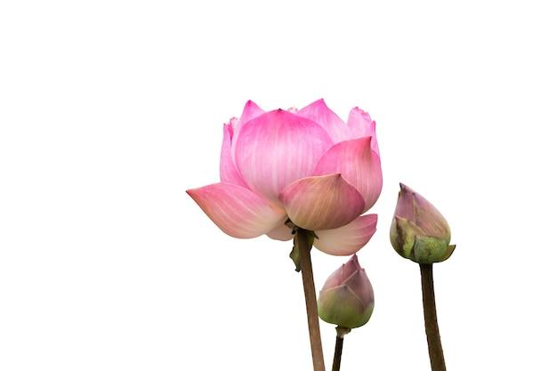 Rosa lotusblume isoliert auf weißem hintergrund