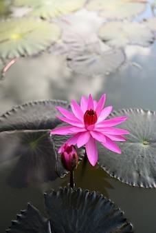 Rosa lotusblume schwimmend