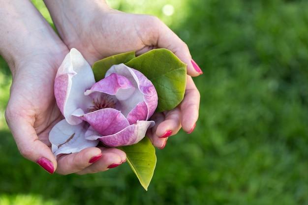 Rosa magnolie in der hand