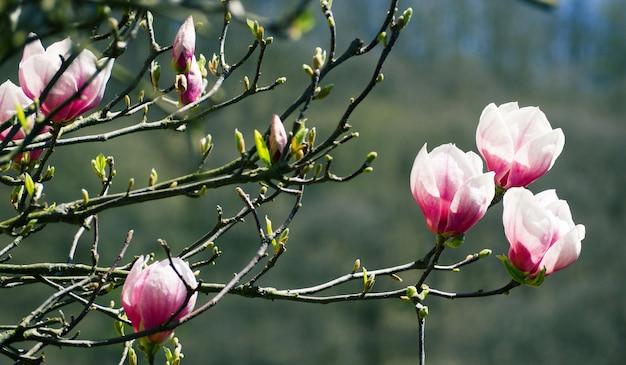 Rosa magnolienblüten blühen. natürlicher hintergrund