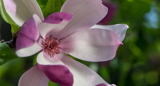 Rosa magnolienblüten