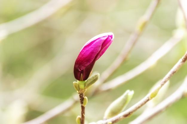Rosa magnolienblume auf baum auf unscharfem hintergrund.