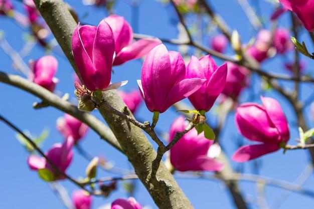 Rosa magnolienknospen an den zweigen. blauer himmel. nahansicht