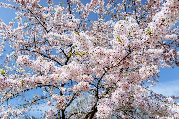 Rosa mandel-kirschblumen-nahaufnahme. frühlingsblumen