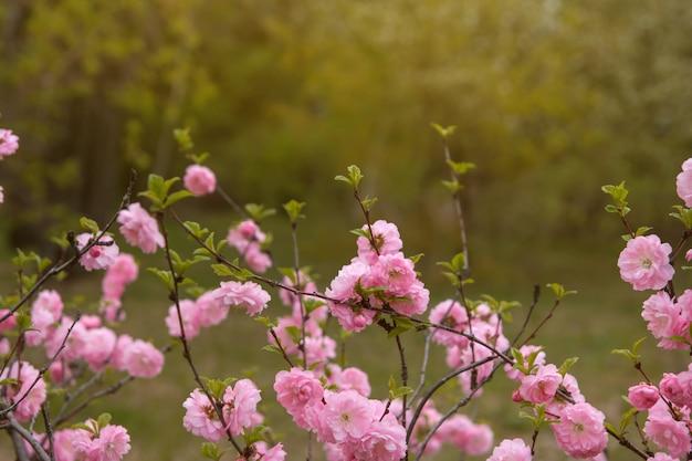 Rosa mandelblumen im park. rosa frühlingsblumen kopieren raum.