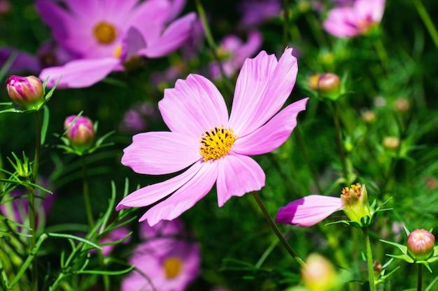 Rosa mexikanische asterblumen im hellen sonnenscheintag des gartens auf einer wand der grünen blätter.