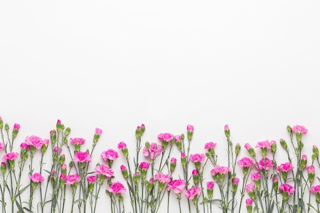 Rosa nelkenblumen auf weiß.