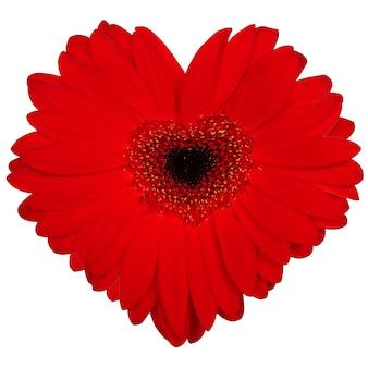 Rosa oder rotes herz gemacht von der gerberablume auf weißem lokalisiertem hintergrund.