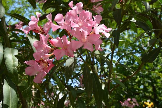 Rosa oleander nerium-strauch wächst im tropischen garten.