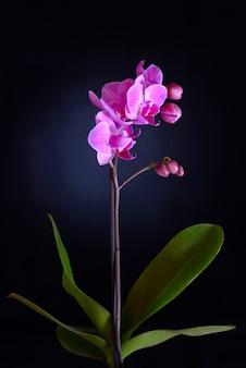 Rosa orchidee auf schwarzem backgorund