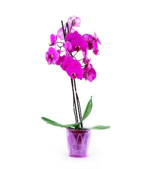 Rosa orchidee im topf auf weißem hintergrund.