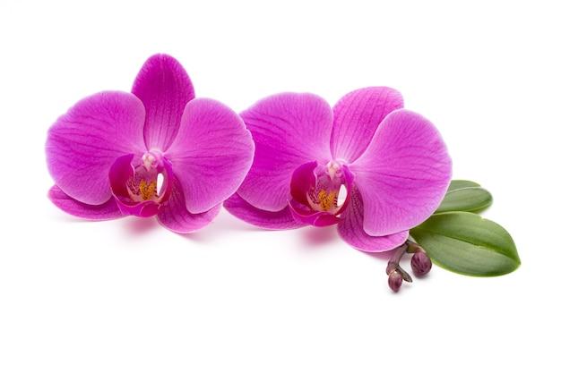 Rosa orchideen auf dem weiß.