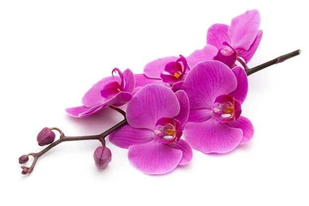 Rosa orchideen auf dem weißen hintergrund