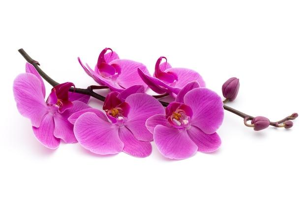 Rosa orchideen auf dem weißen tisch.