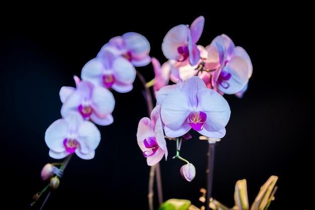 Rosa orchideen blühen