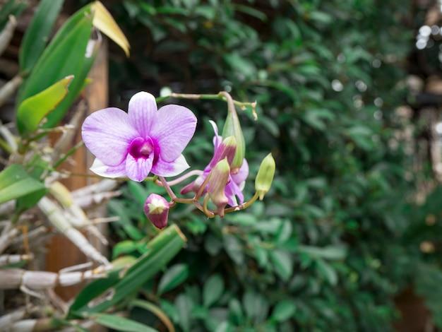 Rosa orchideenblume dendrobium nobile auf grünem hintergrund