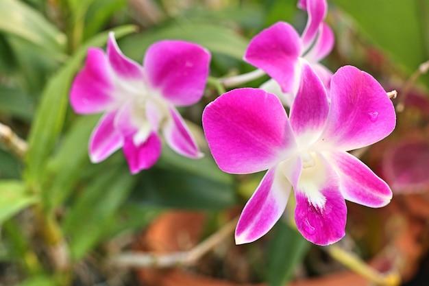 Rosa orchideenblume in tropischem