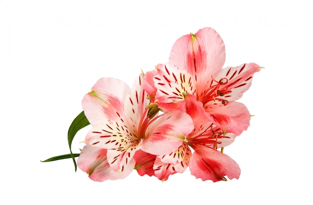 Rosa orchideenblume lokalisiert auf einem weiß