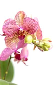Rosa orchideenblumen auf weiß