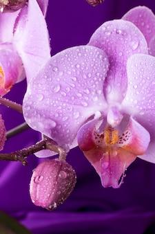 Rosa orchideenmakro mit wassertropfen. phalaenopsiszweig auf purpur. nahansicht. frühling.