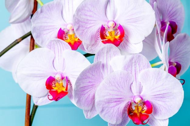 Rosa orchideennahaufnahme. indoor blumen. gartenarbeit.