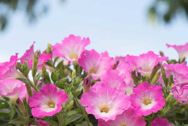 Rosa petunienblume in der blüte