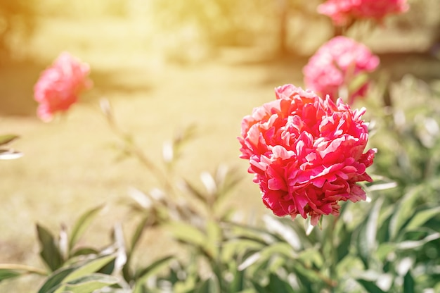 Rosa pfingstrose blütenkopf in voller blüte auf verschwommenen grünen blättern und gras