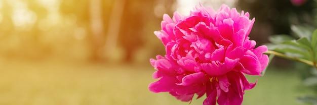 Rosa pfingstrose blumenkopf in voller blüte auf einem hintergrund von verschwommenem grünem gras und bäumen im blumengarten an einem sonnigen sommertag. banner. aufflackern
