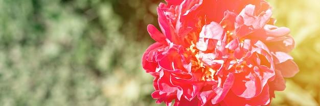 Rosa pfingstrose in voller blüte auf einem hintergrund von verschwommenen grünen blättern und gras im blumengarten an einem sonnigen sommertag. banner. aufflackern