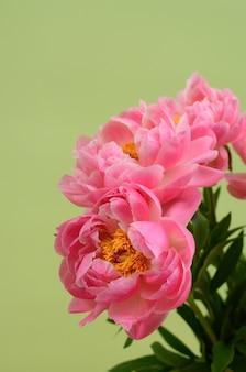 Rosa pfingstrosenblume für hintergrund