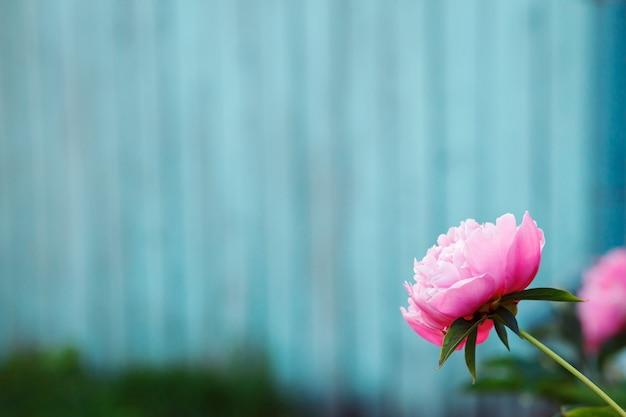 Rosa pfingstrosenblume in der rechten unteren ecke vor der türkisblutigen wand.