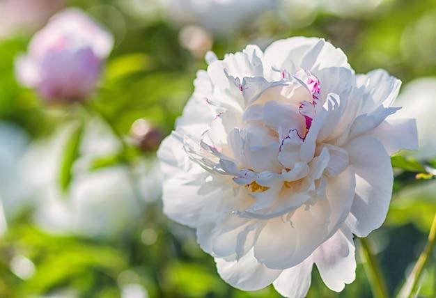 Rosa pfingstrosenblume