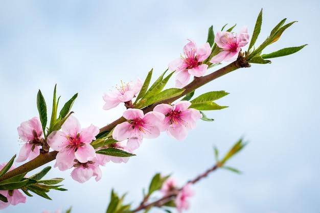 Rosa pfirsichblumen auf dem blauen himmel