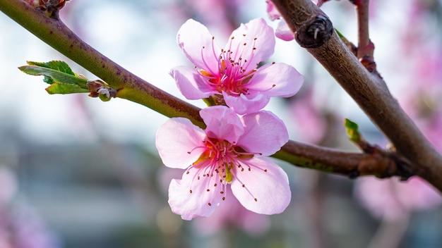 Rosa pfirsichblumen schließen oben, pfirsichblüten
