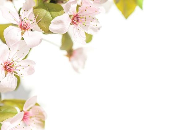 Rosa pflaumenblüten mit grünen blättern auf weißem hintergrund