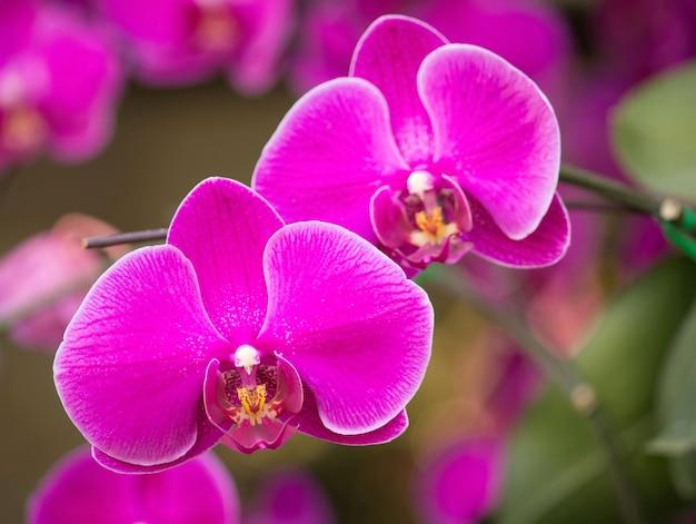 Rosa phalaenopsis orchidee blume