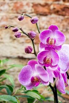 Rosa phalaenopsis-orchideen mit blüten und knospen an stielen im gewächshaus