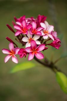 Rosa plumeria auf dem plumeria-baum, tropische frangipani-blumen.