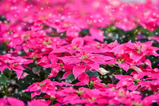 Rosa poinsettia im garten - poinsettia-weihnachtstraditionelle blume mit schneedekorationen frohe weihnachten