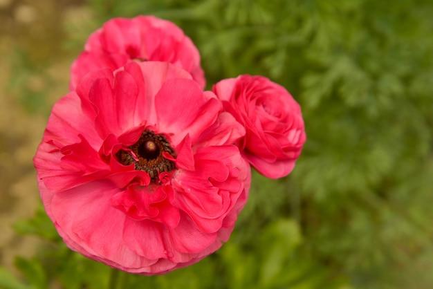 Rosa ranunculusblumenwachsen im garten an einem sonnigen tag. nahaufnahme fucsia blume.