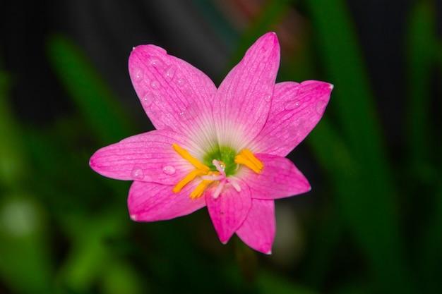 Rosa regenlilie, eine sehr häufige blume in den gärten in rio de janeiro