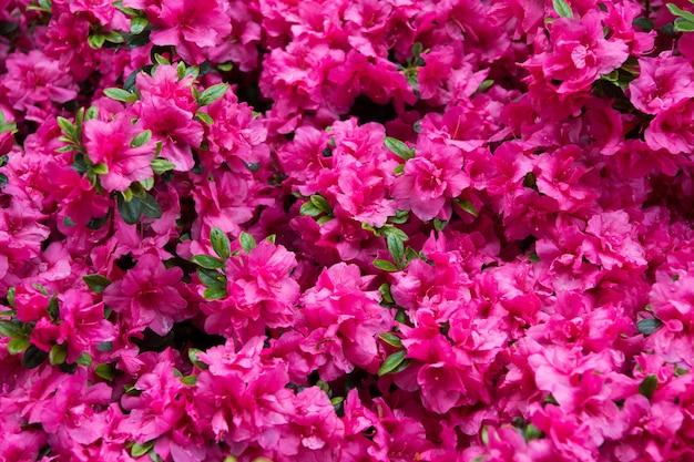 Rosa rhododendron-blume rhododendron-muster natürliche schönheit schöne blüte