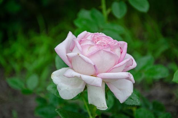 Rosa rose im garten an einem sonnigen sommertag